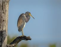 Tricolored heron on a branch in Florida, USA. Tricolored heron on a branch Stock Photo