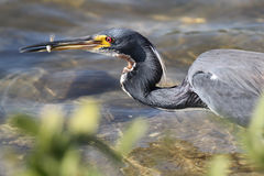Tricolored Heron Catching a Fish Stock Photography