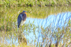 Tricolored Heron at Celery Fields Stock Photo
