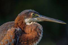 Tricolored heron close-up. Stock Photos