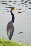 Tricolored Heron Stock Images