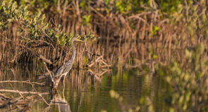 A Tricolored Heron in the cuban swamps Royalty Free Stock Photo