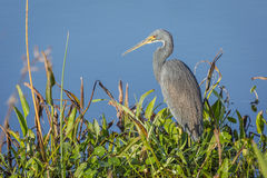 Tricolored Heron at the Edge of a Pond. Tricolored Heron (Egretta tricolor) Stalking its Prey at the Edge of a Marsh - Viera Wetlands, Florida Stock Image