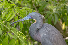 Tricolored Heron / Egret Royalty Free Stock Photos