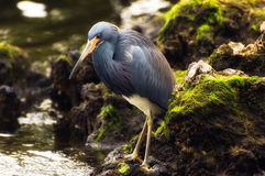 Tricolored Heron (Egretta tricolor) Royalty Free Stock Photography