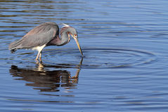 Tricolored Heron (Egretta tricolor) Royalty Free Stock Image