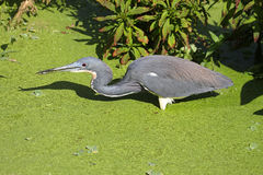 Tricolored Heron (Egretta tricolor) Stock Photo