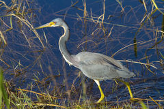 Tricolored Heron - Egretta Tricolor royalty free stock photography