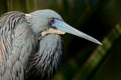 Tricolored Heron (Egretta tricolor) Royalty Free Stock Photos