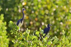 Tricolored Heron (Egretta tricolor) and blue little heron Royalty Free Stock Photos