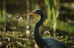 Tricolored Heron (Egretta tricolor) with dragonfly in beak Stock Photo