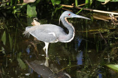 Tricolored Heron (Egretta tricolor) Royalty Free Stock Images