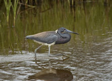 Tricolored heron. Egretta tricolor, formerly known in North America as the Louisiana heron, is a small heron. Chincoteague National Wildlife Refuge, Virginia Stock Photo