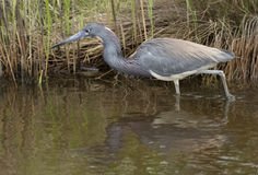 Tricolored heron. Egretta tricolor, formerly known in North America as the Louisiana heron, is a small heron. Chincoteague National Wildlife Refuge, Virginia Stock Images