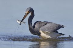 Tricolored Heron with a fish in its beak - Florida royalty free stock photos