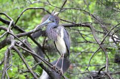Tricolored Heron. A tricolored heron, Egretta tricolor, sitting in a tree Royalty Free Stock Photo