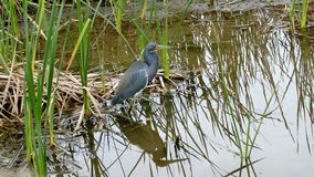 Tricolored Heron, Egretta tricolor, standing in a marsh and flying away.