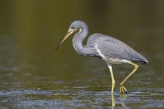 Tricolored Heron wading in a shallow lagoon royalty free stock images