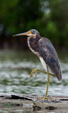 Tricolored heron (Egretta tricolor) wading in shallow water . Royalty Free Stock Images