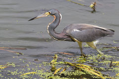 Tricolored heron (Egretta tricolor) walking in the lake Royalty Free Stock Photo