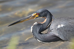 Tricolored Heron - Everglades N Stock Image
