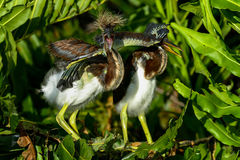 Tricolored heron Stock Photo