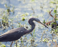 Tricolored Heron feeding Royalty Free Stock Photos