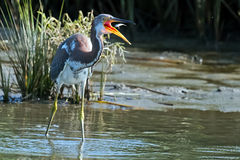 Tricolored Heron with Fish Stock Image