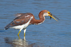 Tricolored Heron with Fish Royalty Free Stock Photography