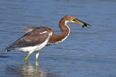 Tricolored Heron with Fish Stock Photos