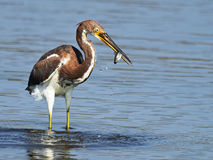 Tricolored Heron with Fish Stock Photography