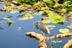 Tricolored Heron Fishing Royalty Free Stock Photos