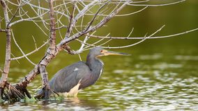 Tricolored Heron Fishing on the Pond. stock footage
