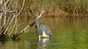Tricolored Heron Fishing on the Pond. Slow motion. stock video