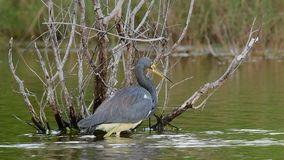 Tricolored Heron Fishing on the Pond. Slow motion. stock footage