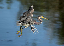 Tricolored Heron in Flight Royalty Free Stock Photography
