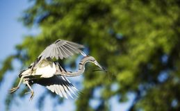 Tricolored Heron in Flight. Tricolored Heron (Egretta tricolor) in flight with nesting material stock photography