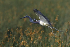 Tricolored Heron in Flight Stock Image