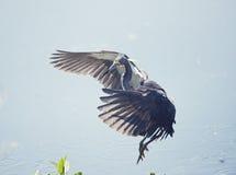 Tricolored Heron in Flight Stock Photo