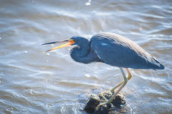 Tricolored Heron flipping a minnow into its beak. Tricolored Heron standin on rocks in the water, flipping a minnow it just caught into its beak Royalty Free Stock Image