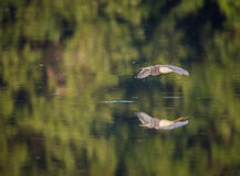 A tricolored heron flying across a green pond with reflection. Of the water Stock Photography