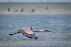Tricolored Heron Flying Along the Texas Coast. Tricolored Heron flying along the Texas marsh looking for food royalty free stock photos