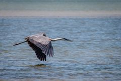 Tricolored Heron Flying Along the Texas Coast. Tricolored Heron flying along the Texas marsh looking for food royalty free stock photo
