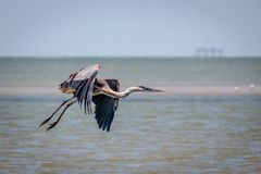 Tricolored Heron Flying Along the Texas Coast. Tricolored Heron flying along the Texas marsh looking for food stock photos