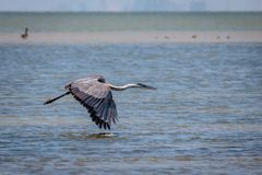Tricolored Heron Flying Along the Texas Coast. Tricolored Heron flying along the Texas marsh looking for food stock image