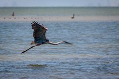 Tricolored Heron Flying Along the Texas Coast. Tricolored Heron flying along the Texas marsh looking for food stock images