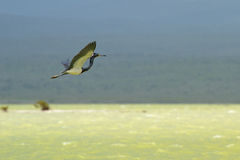 A tricolored heron flying Royalty Free Stock Image
