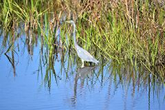 The Tricolored Heron stalks its prey on the marsh of Amelia Island, Florida. The tricolored heron, formerly known as the Louisiana heron, is a small species of royalty free stock image