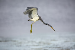 Tricolored Heron Hovering In Search Of A Fish Royalty Free Stock Image