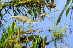 Tricolored Heron On The Hunt Stock Photography